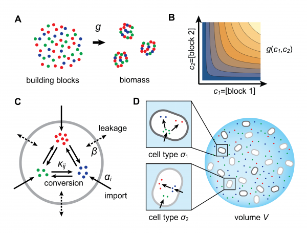 Model for metabolically competing cell types